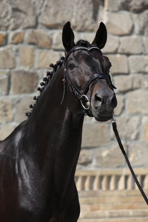 inaction: Beautiful black dutch warmblood with bridle in front of stone wall Stock Photo