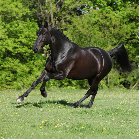 warmblood: Amazing black dutch warmblood running on pasturage Stock Photo