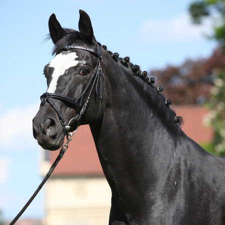 bridle: Nice black dutch warmblood standing with bridle Stock Photo