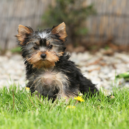 inaction: Gorgeous puppy of Yorkshire terrier sitting in the garden Stock Photo