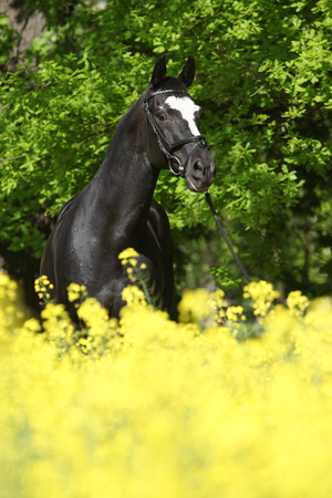 warmblood: Amazing black dutch warmblood in colza field