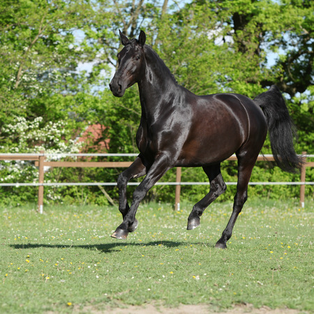 warmblood: Amazing black dutch warmblood running alone in paddock Stock Photo