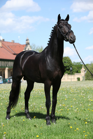 warmblood: Nice black dutch warmblood standing with bridle Stock Photo