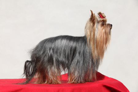 inaction: Beautiful Yorkshire terrier in front of white wall