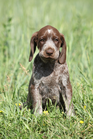 shorthaired: Beautiful puppy od German Shorthaired Pointer in nature