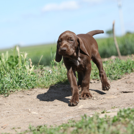 whelp: Puppy of German Shorthaired Pointer running in nature