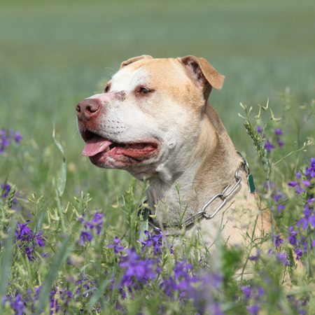 inaction: Gorgeous American Pit Bull Terrier in purple flowers Stock Photo