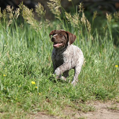 shorthaired: Puppy of German Shorthaired Pointer running in nature