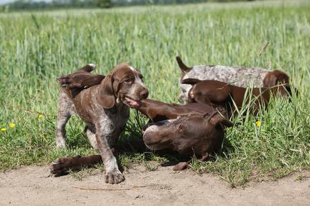 kampfhund: Erstaunlich Schlampe spielt mit ihren Welpen in der Natur Lizenzfreie Bilder