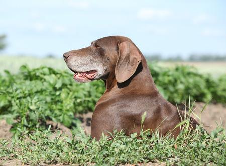 puta: Hermosa perra de pelo corto alem�n en la naturaleza Foto de archivo