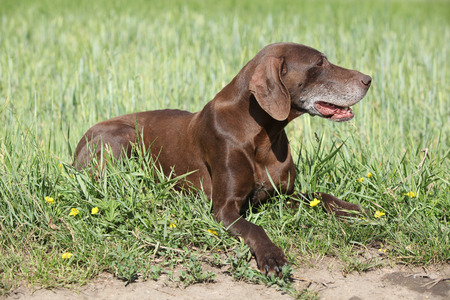 bitch: Beautiful bitch of German Shorthaired Pointer in nature Stock Photo