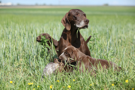 shorthaired: Beautiful German Shorthaired Pointer with puppies in nature