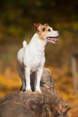 vigilant: Amazing jack russell terrier alone in autumn