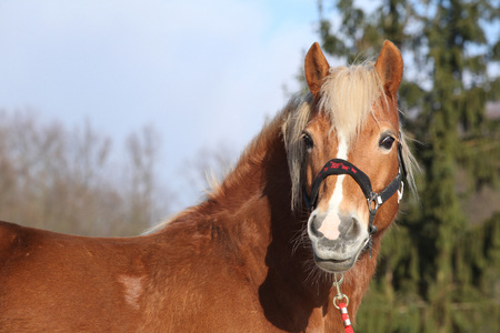 halter: Beautiful chestnut horse with halter in winter Stock Photo