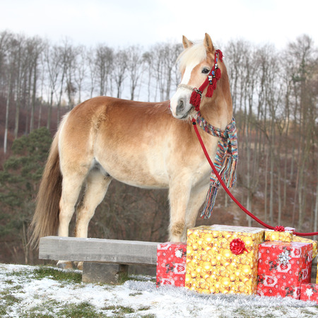 halter: Nice haflinger with red halter, scarf and christmas gifts in winter Stock Photo