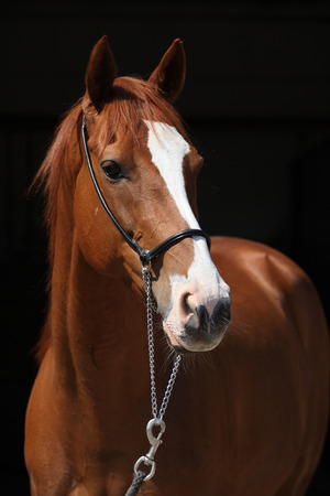 inaction: Amazing chestnut Thoroughbred with halter isolated on black background
