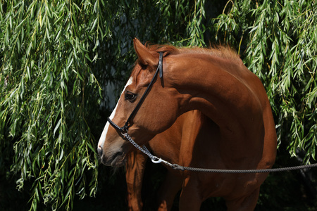 inaction: Amazing chestnut Thoroughbred with halter in nature