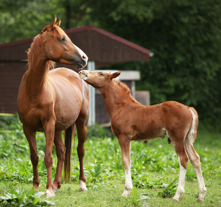 mare: Beautiful mare with its foal standing together on pasturage