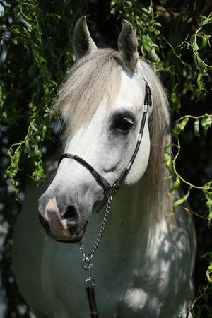 Potrait des erstaunlichen weißen shagya Arabers in der Natur Standard-Bild