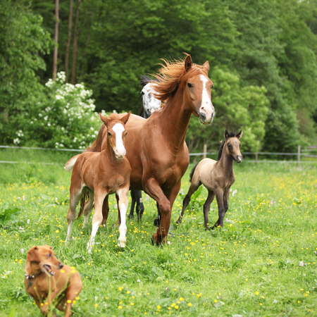 pasturage: Beautiful mare and foal running with their herd on pasturage