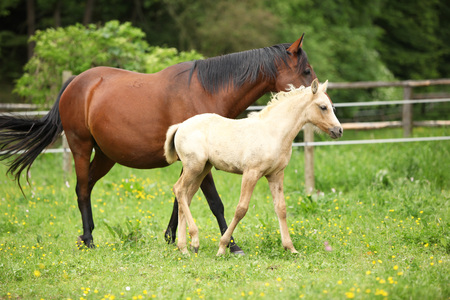 pasturage: Beautiful mare with its foal moving together on pasturage Stock Photo