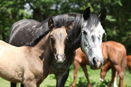 pasturage: Beautiful mare with its foal standing together on pasturage