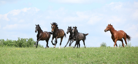 pasturage: Beautiful herd of horses running together on pasturage Stock Photo