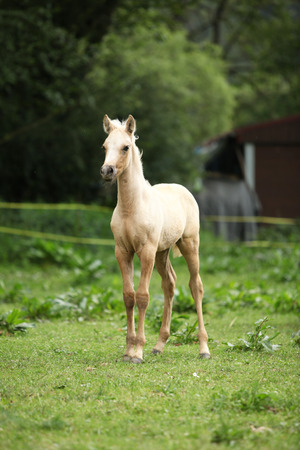 pasturage: Amazing palomino foal standing alone on pasturage
