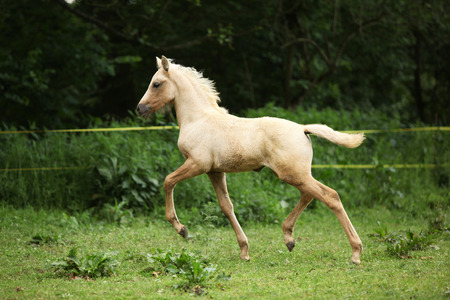palomino: Amazing palomino foal moving alone on pasturage Stock Photo