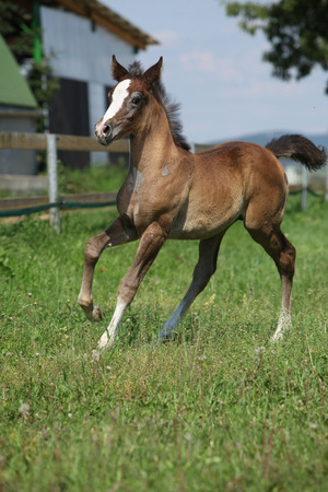 pasturage: Amazing brown foal moving alone on pasturage Stock Photo