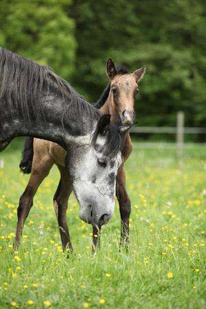 yegua: Hermosa yegua con su potro de pie juntos en pastos