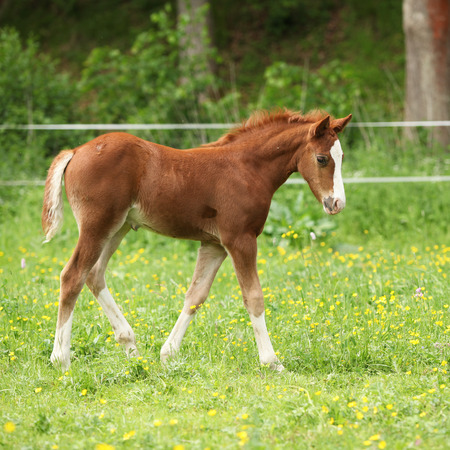 pasturage: Amazing chestnut foal moving alone on pasturage