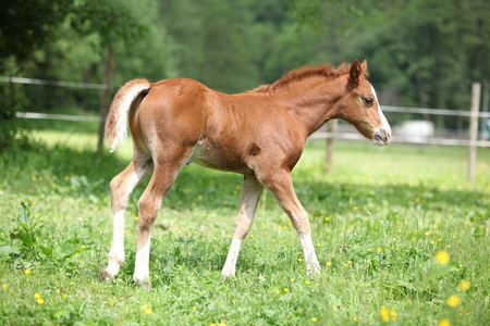 pasturage: Portrait of amazing chestnut foal moving on pasturage