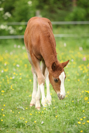pasturage: Portrait of amazing chestnut foal standing on pasturage