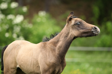 pasturage: Portrait of amazing brown foal standing on pasturage