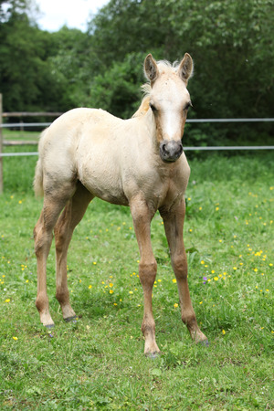 palomino: Portrait of amazing palomino foal standing on pasturage