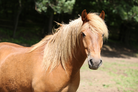 inaction: Portrait of lovely chestnut pony with nice mane looking at you
