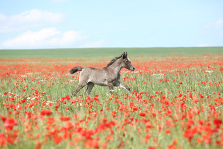 Amazing arabian foal running alone in red poppy field Stock Photo