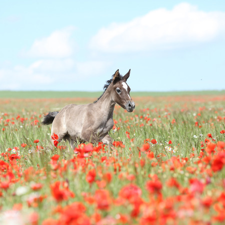 moving images: Amazing arabian foal running alone in red poppy field Stock Photo