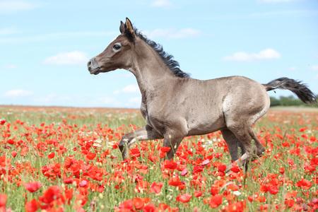Amazing arabian foal running alone in red poppy field Stock Photo