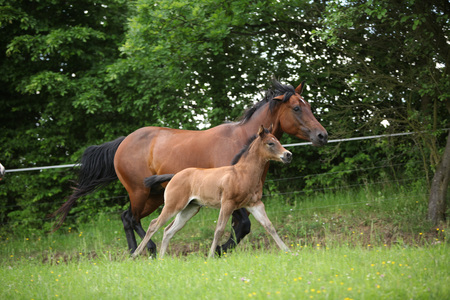 pasturage: Lovely couple - mare with its foal - running togetheron pasturage