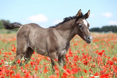 Amazing arabian foal standing in red poppy field alone