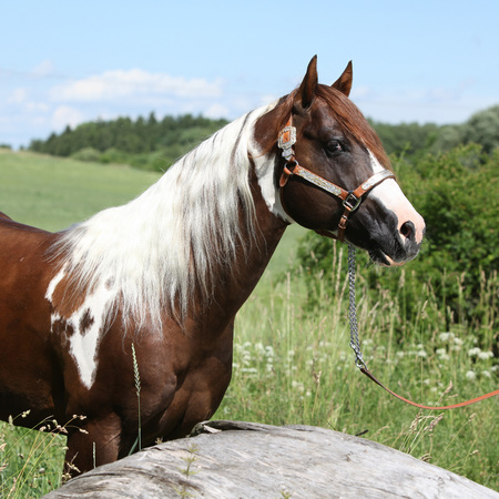 halter: Portrait of beautiful paint horse stallion with western halter