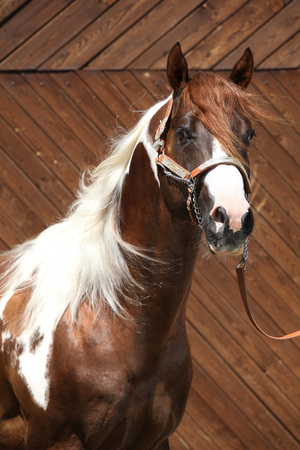 Portrait of beautiful paint horse stallion with western halter