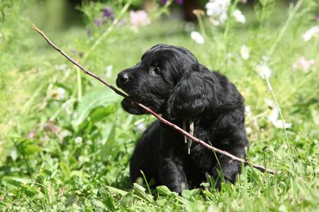 Beautiful black puppy of flat coated retriever