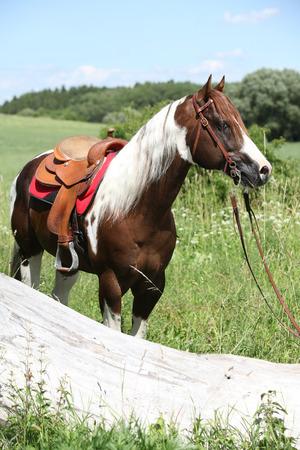 mane: Portrait of beautiful paint horse stallion with long mane