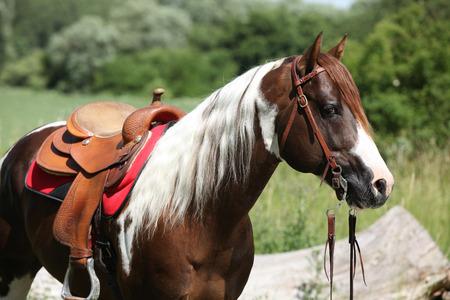 Portrait of beautiful paint horse stallion with long mane