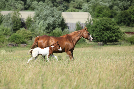 mare: Mare with beautiful foal running on pasturage