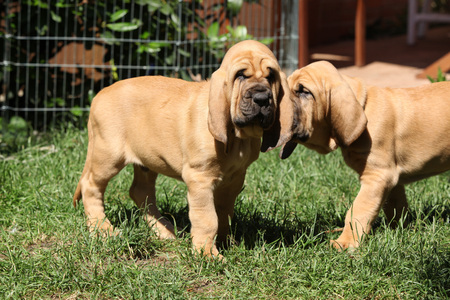 bloodhound: Nice bloodhound puppies moving in the garden Stock Photo