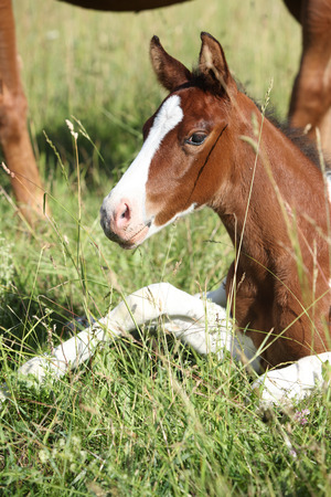 Amazing paint horse foal looking at you on pasturage Stock Photo